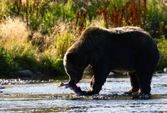 Kodiak Brown Bear. By the karluk river on kodiak island in alaska, eating red salmon Royalty Free Stock Photography