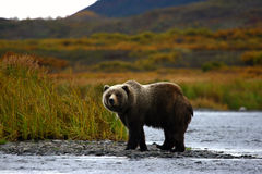 Kodiak brown bear. By the karluk river on kodiak island in alaska Royalty Free Stock Photography