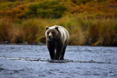 Kodiak brown bear. On kodiak island by karluk river Stock Image