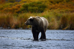 Kodiak brown bear. On  kodiak island by karluk river Royalty Free Stock Image