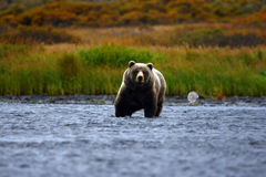 Kodiak brown bear. By the karluk river on kodiak island in alaska Stock Images