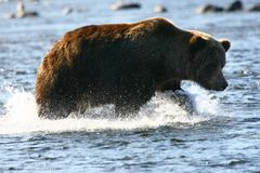 Kodiak brown bear Royalty Free Stock Photo