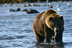 Kodiak brown bear. Brown bear on kodiak island in karluk river Royalty Free Stock Photo