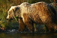 Kodiak brown bear Stock Image