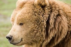 Kodiak brown bear. Head shot Royalty Free Stock Photo