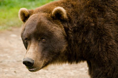 Kodiak Brown Bear Close Up. Close up of a Kodiak Brown Bear in Alaska Royalty Free Stock Images