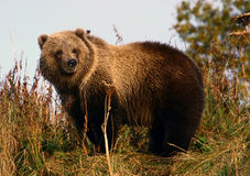 Kodiak brown bear cop. By karluk river at kodiak island Stock Image