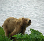 Kodiak Brown Bear. This Kodiak bear definitely is curious about us sitting on the hill stock images