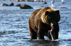 Kodiak brown bear fishing. In Karluk River Stock Photos
