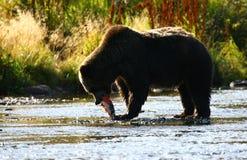 Kodiak brown bear fishing. In Karluk River royalty free stock image