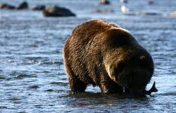 Kodiak brown bear fishing. In Karluk River stock photography