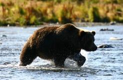 Kodiak brown bear fishing. In Karluk River stock image