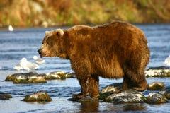Kodiak brown bear fishing. In Karluk River royalty free stock photography