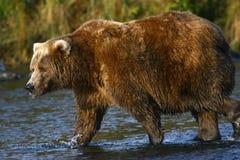 Kodiak brown bear fishing. In Karluk River royalty free stock photo