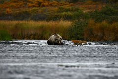 Kodiak brown bear and fox. On kodiak island by karluk river Royalty Free Stock Photography
