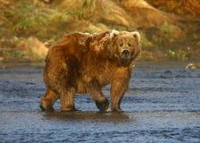 Kodiak brown bear. In karluk river stock photo