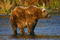 Kodiak brown bear Stock Photography