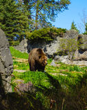 Kodiak Brown Bear. Brown bears belong to the family Ursidae, which includes eight species. The Kodiak bear is a subspecies of brown bear found on Kodiak Island Royalty Free Stock Images
