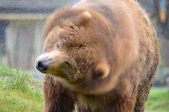Kodiak niedźwiedź trząść wodę daleko Fotografia Royalty Free