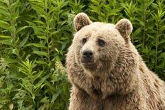 Kodiakbjörn Arkivfoton
