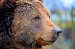 Kodiakbjörn Royaltyfria Foton