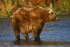 Kodiakbraunbär Stockfotografie