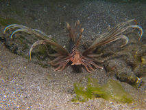 Kodipungi Lionfish στοκ φωτογραφία