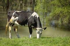 Koe in aard stock fotografie