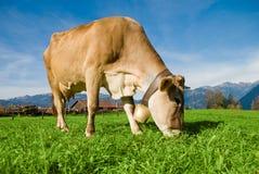 Koe in Alpen Stock Fotografie