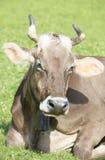 Koe in Alpen Stock Afbeeldingen