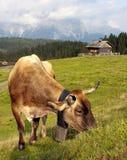 Koe in alpen op weiland royalty-vrije stock fotografie