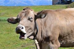 Koe in Alpes Stock Afbeelding