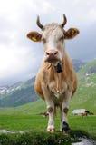 Koe in alpiene weide Royalty-vrije Stock Fotografie