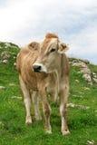 Koe in bergen royalty-vrije stock foto