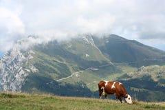 Koe bij de alpen Stock Afbeelding