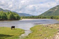 Koe bij de bergrivier Irkut in de bergen van Sayan van het Oosten. Royalty-vrije Stock Foto