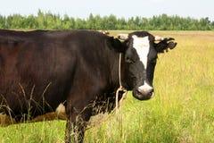Koe bij het weiland Stock Afbeeldingen