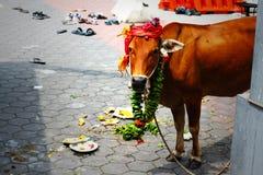 Koe bij Hindoese Partij Royalty-vrije Stock Foto's