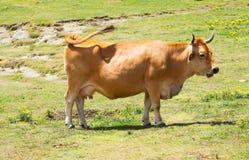 Koe bij weide in de zomer Royalty-vrije Stock Fotografie