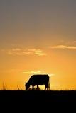 Koe bij zonsondergang Royalty-vrije Stock Afbeelding