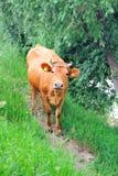 Koe bleke bruine kleur. Royalty-vrije Stock Afbeelding