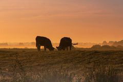 Koe, Cow. Melkvee in ochtend nevel Nederland, Dairy cattle at early morning mist Netherlands royalty free stock photography