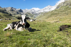 Koe in de alpen Stock Foto's