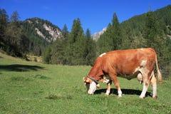 Koe in de alpen Royalty-vrije Stock Afbeelding