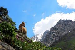 Koe in de bergen Royalty-vrije Stock Fotografie