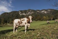 Koe in de bergen Stock Fotografie