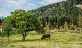Koe in de Karpatische bergen Royalty-vrije Stock Foto's