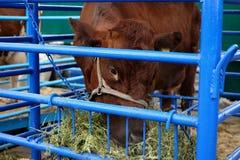Koe in de paddock op het landbouwbedrijf die hooi eten stock foto