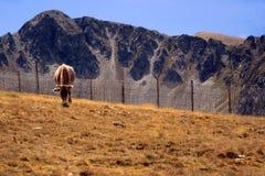 Koe in de Pyreneeën Stock Afbeeldingen
