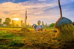 Koe in de stal Royalty-vrije Stock Afbeeldingen